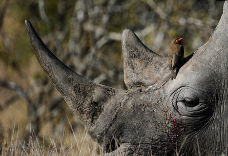 South African Park Considers Moving Rhinos to Stop Poachers | Kruger & African Wildlife | Scoop.it