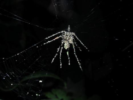 L'astuce d'une araignée pour semer la confusion | EntomoNews | Scoop.it