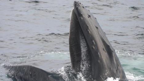 Study says fish management should note #Whale taste for herring from Irish waters | Rescue our Ocean's & it's species from Man's Pollution! | Scoop.it