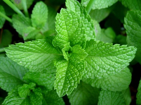 Peppermint essential oil Uses & benefits.. 1 Health benefits.. 2 Skin care.....etc | Essential Oils | Scoop.it