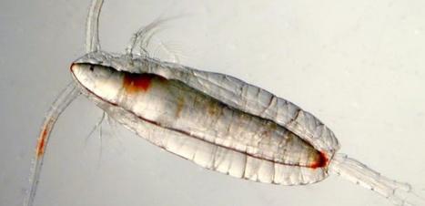 Le plancton copépode piégé par sa propre gourmandise   EntomoNews   Scoop.it