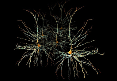 Human cognition depends upon slow-firing neurons, Yale researchers find | Amazing Science | Scoop.it