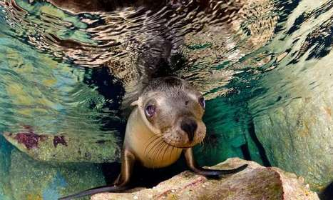 What can a sea-lion teach us about musicality? | Psychology and Health | Scoop.it