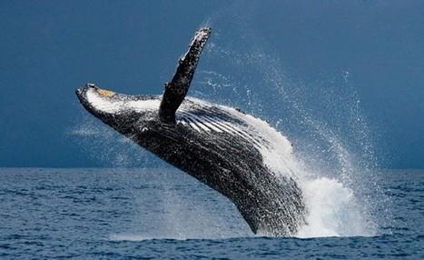 Pourquoi les baleines sont-elles toujours menacées en 2016 ?   Zones humides - Ramsar - Océans   Scoop.it