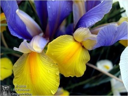 Iris Purple and Yellow... | RedGage | Photos4Share | Scoop.it