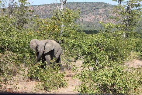 Quand le célèbre parc Kruger passe sous haute protection | Biodiversité & Relations Homme - Nature - Environnement : Un Scoop.it du Muséum de Toulouse | Scoop.it