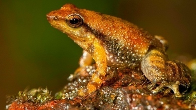 Dancing frogs, newly discovered in India, face extinction - CBC.ca | WONDER-WORLD-INDIA | Scoop.it