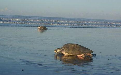 Murieron tortugas por algas tóxicas en el Océano Pacífico | Los Recursos Naturales daip | Scoop.it