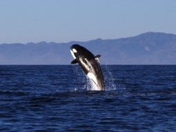 Killer whales dazzle in hourlong show off L.A.; 'Like SeaWorld without the tanks' | GrindTV.com | All about water, the oceans, environmental issues | Scoop.it
