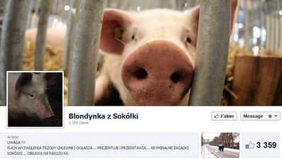 Un cochon en fuite fait marrer la Pologne | Mais n'importe quoi ! | Scoop.it