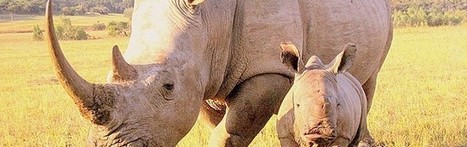 True Story: Wildlife Rangers Tracking Rhino Poachers | What's Happening to Africa's Rhino? | Scoop.it