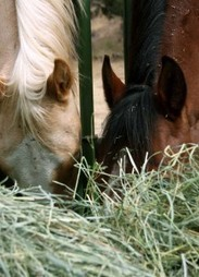 Is Feeding Alfalfa Hay a Wise Choice for Your Horse? | MyHorse Daily – MyHorse Daily | Ultimate Horsemanship | Scoop.it