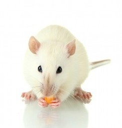 Hormone Boosts Insulin-Producing Cells in Diabetic Mice | 21st Century Innovative Technologies and Developments as also discoveries, curiosity ( insolite)... | Scoop.it