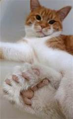 Cat's 26 toes earn dough to save shelter | Strange days indeed... | Scoop.it