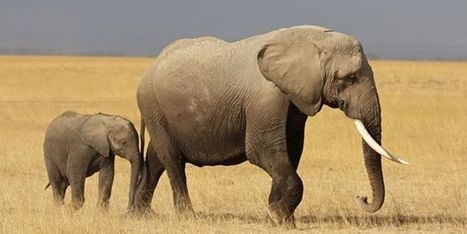 Petition: Stop Export of Zimbabwe's Baby Elephants | Science and Nature | Scoop.it