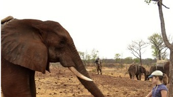 Getting the point: African elephants understand human gestures - Los Angeles Times | Exploring Anthropology | Scoop.it