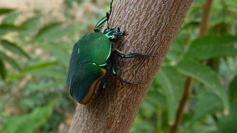 Bright Green Beetle Makes a Sonoran Desert Appearance | CALS in the News | Scoop.it