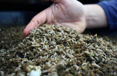 For these entrepreneurs, cutting back on food waste starts in a maggot bucket   Harvest Public Media   Insect rearers   Scoop.it
