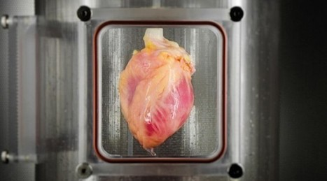 Functional human heart tissue grown from skin cells | Research | 21st Century Innovative Technologies and Developments as also discoveries, curiosity ( insolite)... | Scoop.it