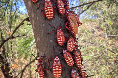 What Is This #AZCritter? Giant Mesquite Bugs | CALS in the News | Scoop.it