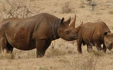 Questions about black rhino sent to Botswana | What's Happening to Africa's Rhino? | Scoop.it