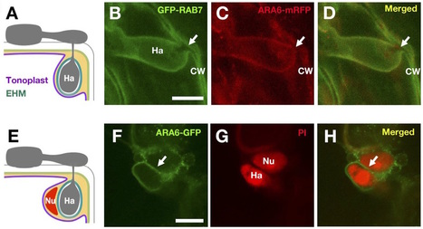 Plant Cell Physiol: Modulation of plant RAB GTPase-mediated membrane trafficking pathway at the interface between plants and obligate biotrophic pathogens (2016) | Trends in MPMI | Scoop.it