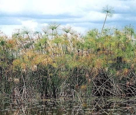 Dr. Giuseppe MAZZA Journalist - Scientific photographer > PLANTAS > Cyperus papyrus | Flores y plantas | Scoop.it