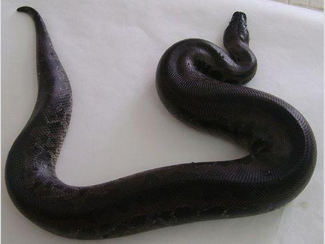Elevage,reptile, serpent, rat, souris, cochon d'inde,,Auvergne,Allier - eleveur.cmonchoix.fr | eleveur.cmonchoix | Scoop.it