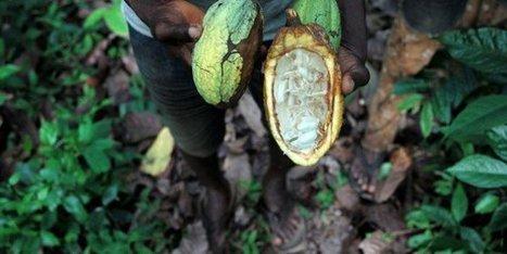 Le chocolatier Cemoi et le conseil café-cacao vont investir 11 millions d'euros en Côte d'Ivoire | Questions de développement ... | Scoop.it