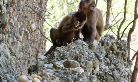 Monkeys are seen making stone flakes so humans are 'not unique' after all | De Natura Rerum | Scoop.it