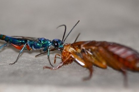 Parasitic wasp turns roaches into zombie slaves using a neurotoxic cocktail   Amazing Science   Scoop.it
