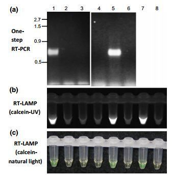 Detection of Magnaporthe oryzae chrysovirus 1 in Japan and establishment of a rapid, sensitive and direct diagnostic method based on reverse transcription loop-mediated isothermal amplification | Rice Blast | Scoop.it