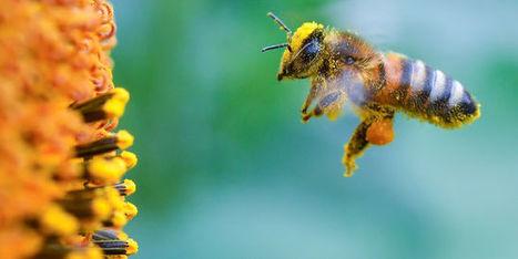 Les pesticides triplent la mortalité des abeilles | Toxique, soyons vigilant ! | Scoop.it
