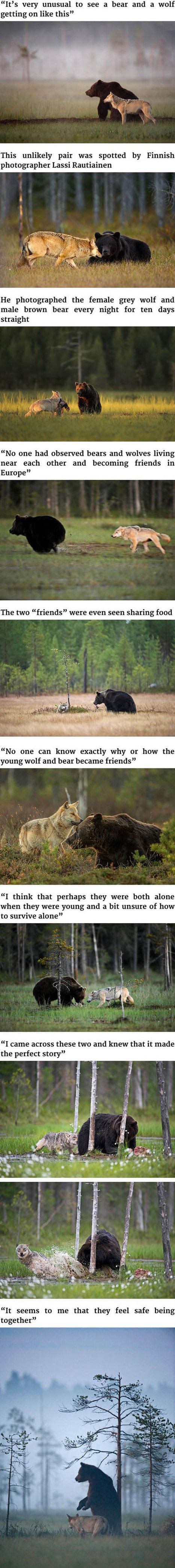Unusual Friendship Between Wild Wolf And Wild Bear | This Gives Me Hope | Scoop.it