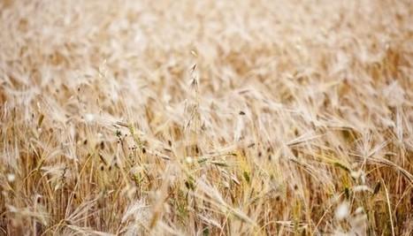 Maïs, blé... notre agriculture est en péril. Il faut stocker nos plantes comestibles | Chimie verte et agroécologie | Scoop.it