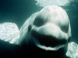 """Talking"" Whale Could Imitate Human Voice 