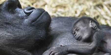 La consanguinité a contribué à la survie des gorilles des montagnes | Afrique: développement durable et environnement | Scoop.it