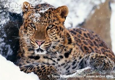 ARKive blog Endangered Species of the Week: Amur leopard - | amur leopard | Scoop.it