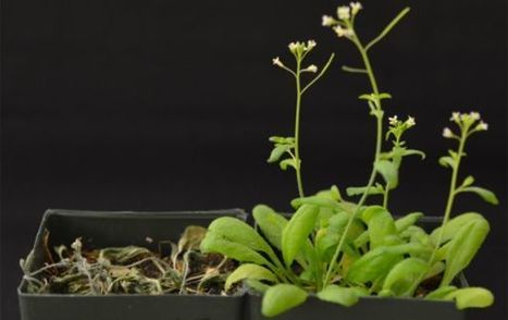 Scientists Reprogram Plants for Drought Tolerance | Cool tidbits about plants | Scoop.it