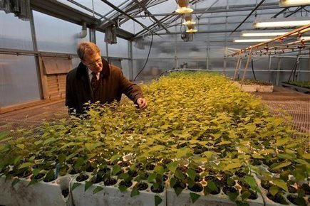WSU scientists making poplars with rose scent | Tree Campus USA | Scoop.it
