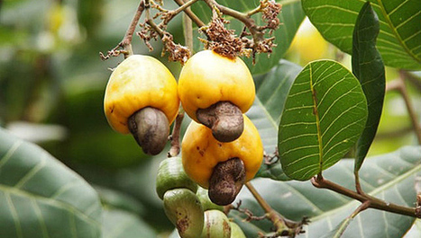 Le rôle des fourmis dans la production des noix de cajou | Confidences Canopéennes | Scoop.it