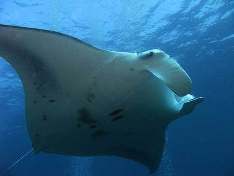 Manta Rays – the secretive ghosts of the Maldive | Scuba Diving | Scoop.it