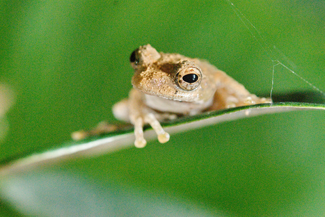 Clever Tree Frogs Shout For Sex By Using Storm Drains As Megaphones | Strange days indeed... | Scoop.it