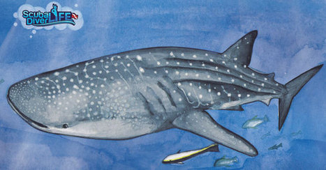 Gentle Giants - The Whale Shark | All about water, the oceans, environmental issues | Scoop.it