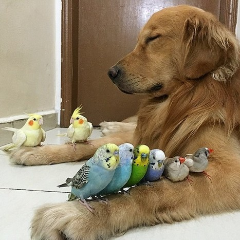 This Golden Retriever Snuggling With His Bird And Hamster Besties Proves Love Knows No Species | Xposed | Scoop.it