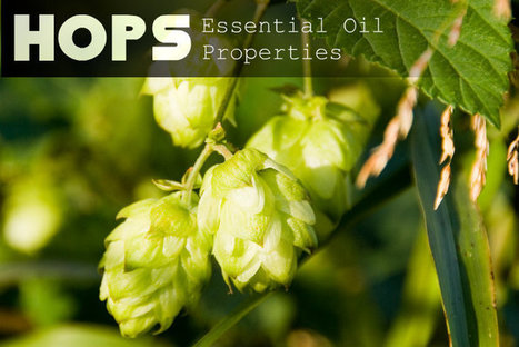 Hops Essential Oil Properties   At Home Health and Beauty Tips   Scoop.it