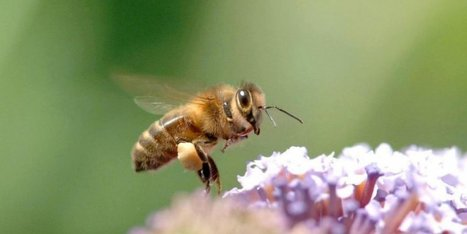 Abeilles : les insecticides néonicotinoïdes interdits à partir de 2018 | Biodiversité | Scoop.it