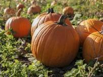 Picking the perfect pumpkin   The Miracle of Fall   Scoop.it