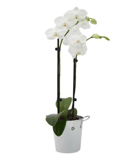 Plants Online - Double Spike White Orchid | Plants Online | Scoop.it