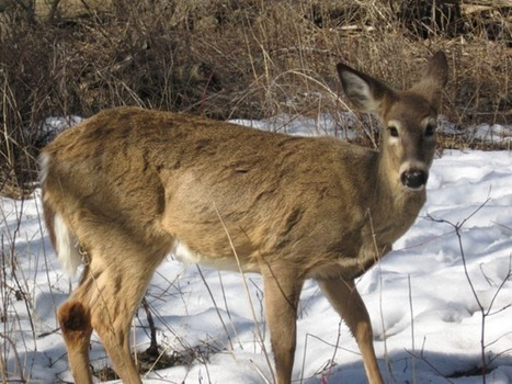 How to identify white-tailed deer tracks and signs | Brian's Science and Technology | Scoop.it